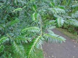 miro-leaf-atx-tree-species.png