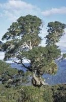 miro-specimen-tree-atx-tree-species.jpg