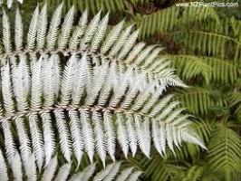 ponga-silver-underside-arbortechnix-tree-botanics.jpg