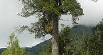 Kahikatea (White Pine)