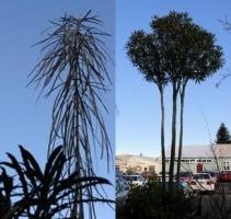 lancewood-juvenile-adult-specimen-tree-arbortechnix-combined.jpg