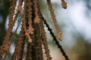 lancewood-juvenile-leaf-atx-tree-botanics.jpg