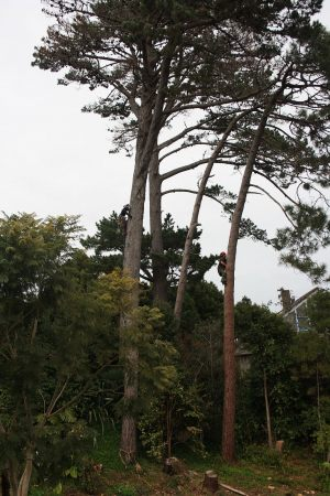 first-ascent-pine-removal-auckland-tree-services