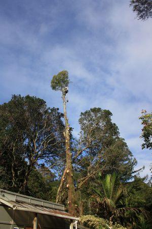 kahikatea-tree-removal-auckland-tree-work