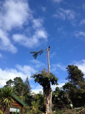 macrocarpa-top-section-lowering-auckland-tree-work-arbortechnix