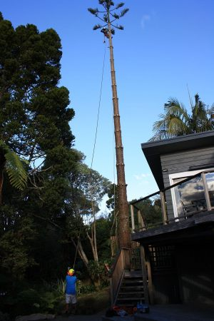 norfolk-pine-dismantle-tree-services-auckland2