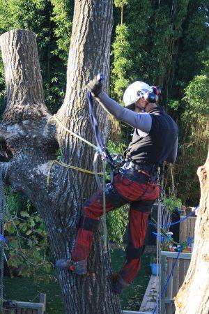oak-structural-demolition-auckland-tree-services