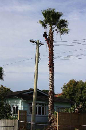 palm-demolition-arbortechnix-tree-work-auckland