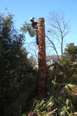palm-trunk-dismantle-arbortechnix-tree-work-auckland