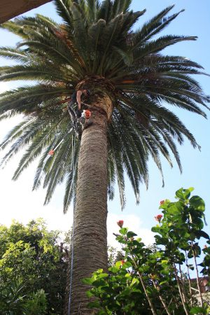 phoenix-palm-dead-frond-removal-tree-services-auckland