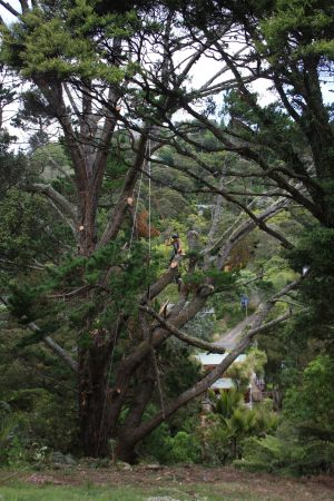 pine-lateral-lowering-operations-arbortechnix-tree-services-auckland