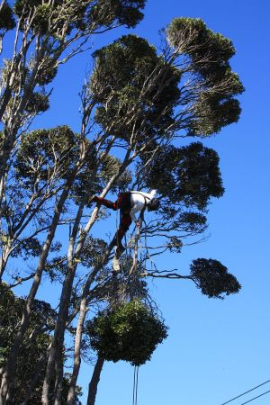 pohutukawa-reduction-tree-work-auckland-arbortechnix
