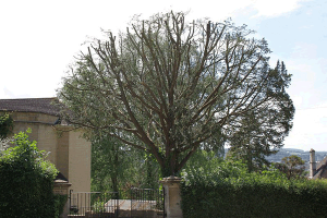 yew-reduction-balance-and-reshape-tree-surgery-atx