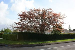 copper-beech-reduction-after