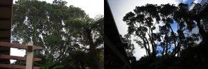 pohutukawa-bush-thinning-before-after-combined