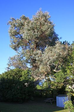 silver-dollar-before-arbortechnix-auckland-tree-services-resize