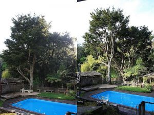 totara-thinning-operations-before-after-combined-resize
