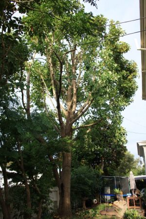 tulip-tree-canopy-thin-after-resize