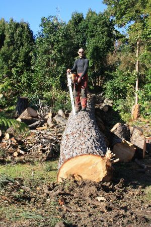pine-trunk-felled-auckland-tree-services