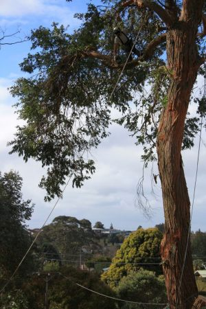 Gum-tree-dismantle-lateral-branch-removal-aerial-operations