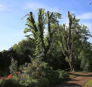 chestnut-pollard-management-fracture-storm-damage