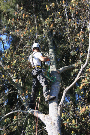 crown-dismantle-&-release-wind-blown-tree-work-auckland