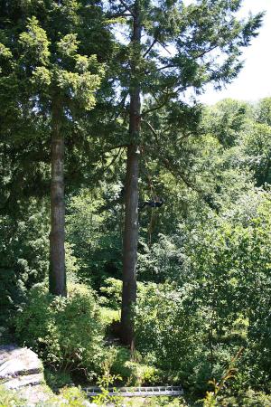 giant-fir-prussik-woodland-management-atx-auckland