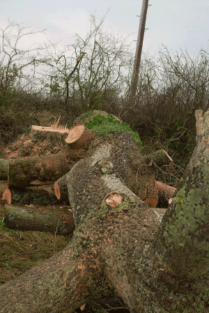 ground-fell-ash-trunk-woodland-management-arbortechnix