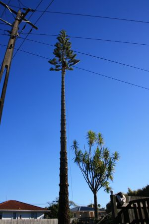 norfolk-pine-dismantle-tree-services-auckland