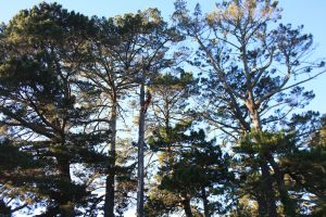 pine-pole-climb-tree-services-auckland-resize