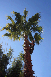 washingtonia palm dismantle arbortechnix tree service auckland